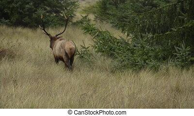 Roosevelt Bull Elk Cervus canadensis roosevelti Prairie...