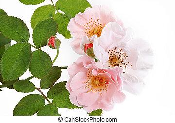 rooskleurige rozen, bos