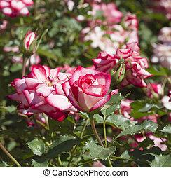 rooskleurige rozen, in de tuin