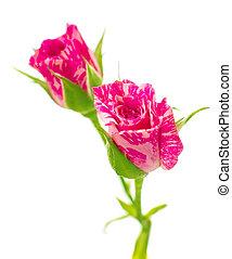 rooskleurige rozen, weinig; niet zo(veel), witte , vrijstaand