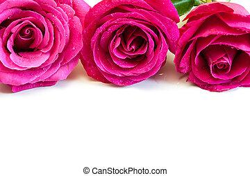 rooskleurige rozen, white.