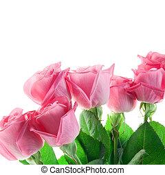 rooskleurige rozen, witte achtergrond