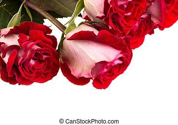 rooskleurige rozen, witte , vrijstaand