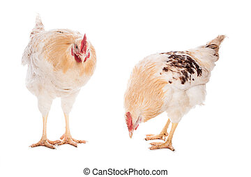 Rooster and chicken on the white background
