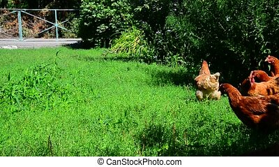 Rooster and chickens running along grass - Rooster and...