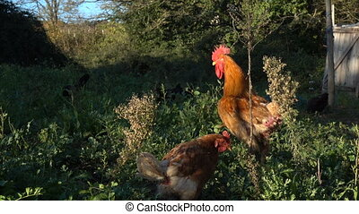 Rooster and hens looking for food