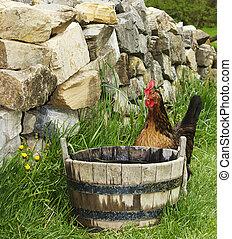 Rooster Beside Water Barrel