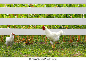 Rooster Courting Hen - A Rooster and a Hen, two chickens,...