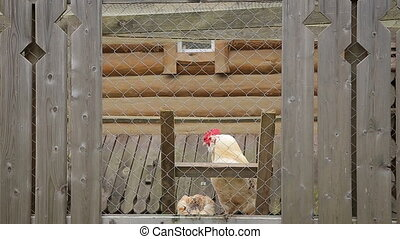 Rooster crowing in a chicken coop