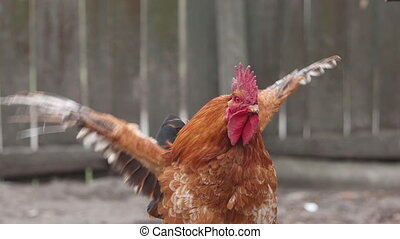 rooster flaps its wings Slow Motion, pets