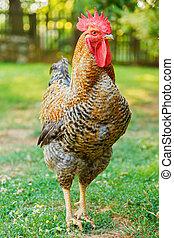 Rooster in green garden