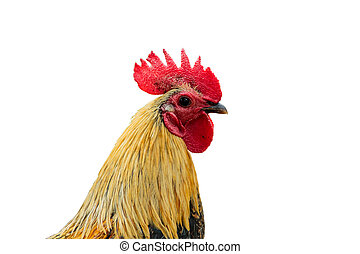 rooster isolated on a white background with clipping path.