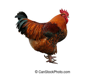 Rooster isolated on white