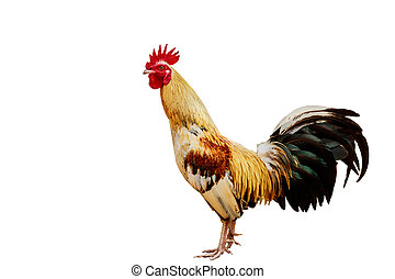 rooster isolated on white background with clipping path.