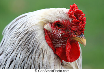 Rooster of Big Brahma Columbia - The brahma is a big...