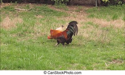 rooster pecks the hen