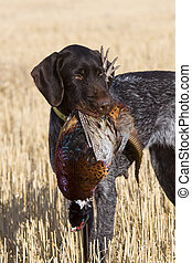 Rooster Pheasant and hunting dog