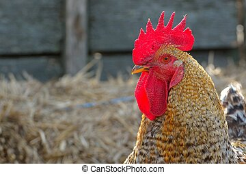 Rooster portrait in a farm