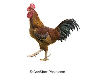 rooster - isolated rooster with clipping path