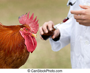 Rooster vaccination on the farm - Close up of rooster ...