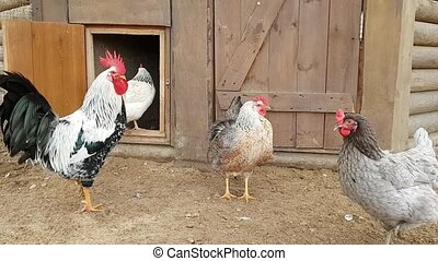 Rooster with hens in hen house on a cattle farm - Rooster...