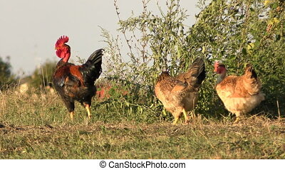 rooster with hens - rooster with three hens walking in a...