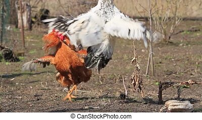 Roosters circling and attacking each other at cockfight