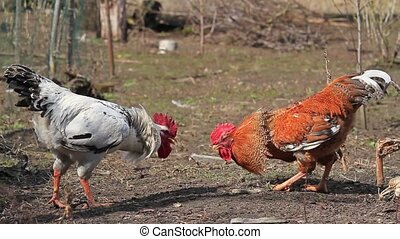 Roosters circling and attacking each other at chikenfarm