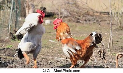 Roosters white and red attacking each other at cockfight