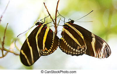 roosting twins - Zebra Longwing butterfly roosting under a...