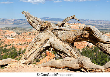 root in Bryce Canyon
