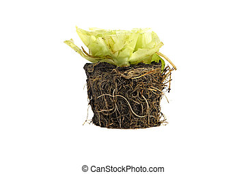 root in the earth is isolated on a white background