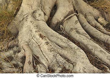 Root of banyan tree