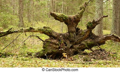 Root of the Broken Tree in the Forest. Autumn daytime. Smooth dolly shot