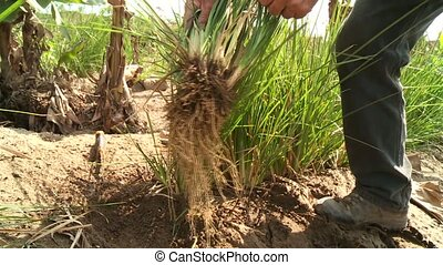 Root Out Vetiver Grass in Desert - Vetiver-Grass plants