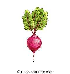 Root radish vegetable with green leaves isolated