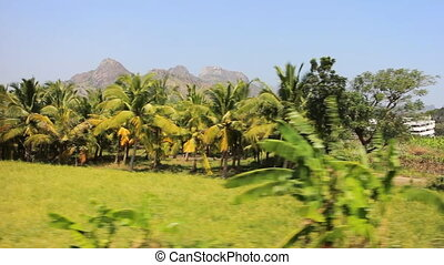 Rootpane group of coconut palm trees, flat green meadows 2