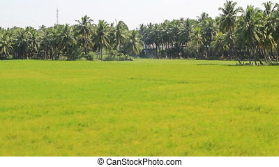 Rootpane group of coconut palm trees, flat green meadows 1