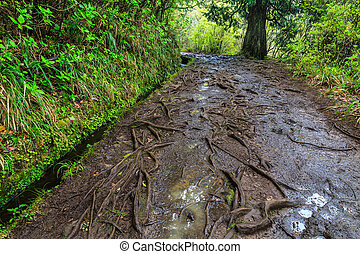 Roots growing on a walking trail along the levadas in the mountains of Madeira, Portugal