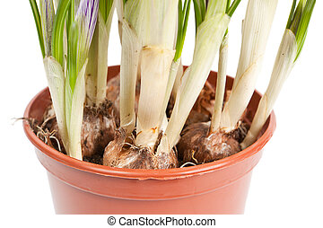 Roots of a crocus isolated on a white background