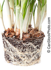 roots of a crocus isolated on the white background