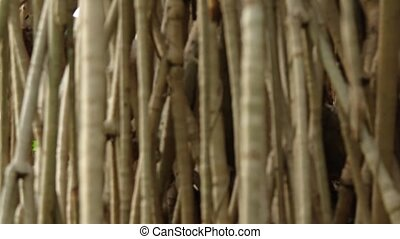 Roots of a Pandan Tree in Shifting Selective Focus - Closeup...