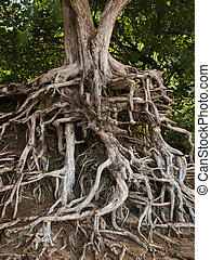 roots of an ironwood tree kauai hawaii