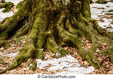Roots of big old tree in autumn close
