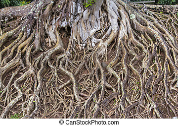 Roots of big tree
