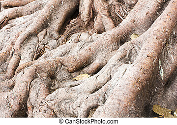 Roots of big trees