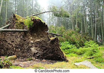 Roots of fallen huge spruce in forest. Hurricane wind piled up large pine in forest