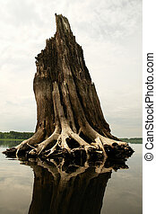 Roots of the broken tree. Ecological catastrophe. Volga river, Russia.