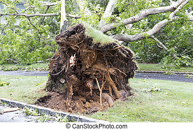 Roots of tree that fell across a driveway during tropical storm