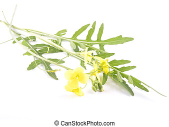 Roquette with flower on white background